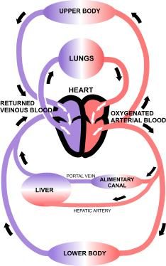 Structure and function of the cardiovascular system home for Home circulation system